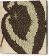 Begonia Rex Canvas Print