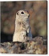 Belding Ground Squirrel Canvas Print