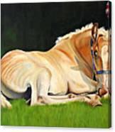 Belgian Horse Foal Canvas Print