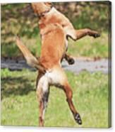 Belgian Shepherd Dog Canvas Print