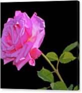 Belinda's Dream Rose 005 Canvas Print