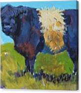 Belted Galloway Cow - The Blue Beltie Canvas Print