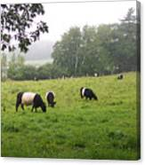 Belted Galloways 2 Canvas Print