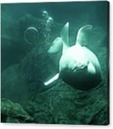 Beluga Whale 2 Canvas Print