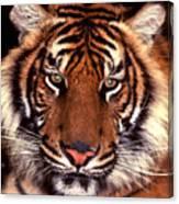Bengal Tiger - 2 Canvas Print