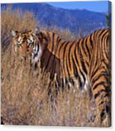 Bengal Tiger Endangered Species Wildlife Rescue Canvas Print