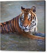 Bengal Tiger Laying Water Canvas Print