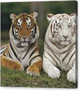 Bengal Tiger Team Canvas Print