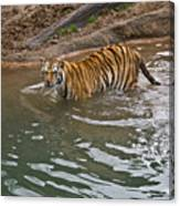 Bengal Tiger Wading Stream Canvas Print