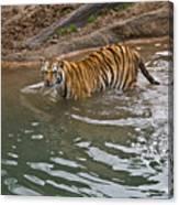 Bengal Tiger Wading Stream Canvas Print