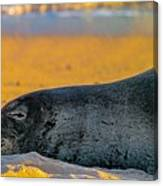 Benny At Sunset Canvas Print