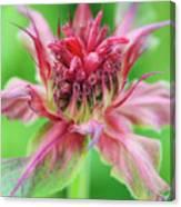Bergamot Flower Canvas Print