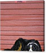 Bernese Mountain Dog Alertly Guarding Home. Canvas Print