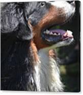 Bernese Mountain Dog Basking In The Sunshine Canvas Print