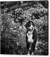 Bernese Mountain Dog Black And White Canvas Print