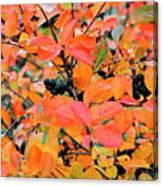 Berry Aronia Canvas Print