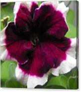 Bi-color Petunia Flower  Canvas Print