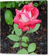 Bi-colored Rose In Rain Canvas Print