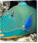 Bicolor Parrotfish Canvas Print