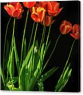Bicolor Tulips Canvas Print