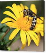 Big Bee On Yellow Daisy Canvas Print
