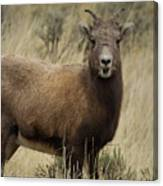 Big Horn Ewe-signed-#7480 Canvas Print