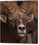 Big Horn Grazing Canvas Print