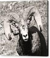 Big Horn Ram Bandw 5 Canvas Print