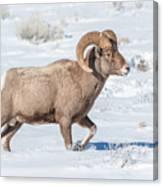 Big-horn Ram In Winter Canvas Print