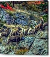 Big Horn Sheep - Close-up Canvas Print