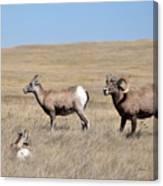 Big Horn Sheep Family Canvas Print