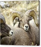 Big Horn Sheep Grazing Canvas Print