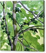 Big Leaf Maple Canvas Print