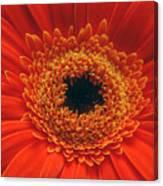 Big Orange Daisey Canvas Print