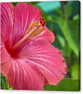 Big Pink Hibiscus Canvas Print