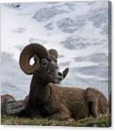 Big Ram Canvas Print