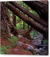 Big Sur Redwood Canyon Canvas Print