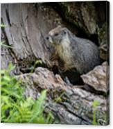 Big Tree Trail - Marmot - Sequoia National Park - California Canvas Print