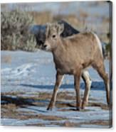 Bighorn Lamb 2 Canvas Print