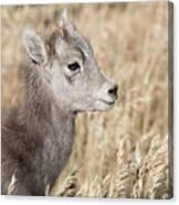 Bighorn Lamb Canvas Print