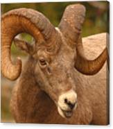 Bighorn Ram With Evident Disdain Canvas Print