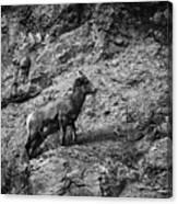 Bighorn Sheep Ewe On Wolf Creek Pass Canvas Print