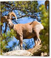Bighorn Sheep In The San Isabel National Forest Canvas Print