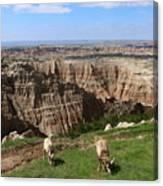 Bighorn Sheeps At Sage Creek Canvas Print
