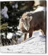 Bighorned Yearling - King Of The Hill Canvas Print