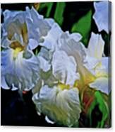 Billowing White Irises Canvas Print