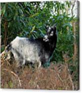 Kerry Mountain Goat Canvas Print