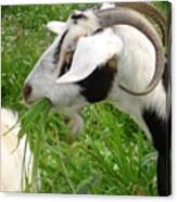 Billy Goat Horns Canvas Print