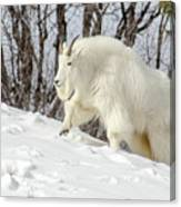 Billy Goat On The Move Canvas Print