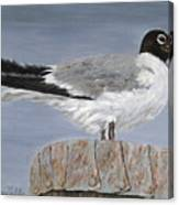 Bimini Gull Canvas Print